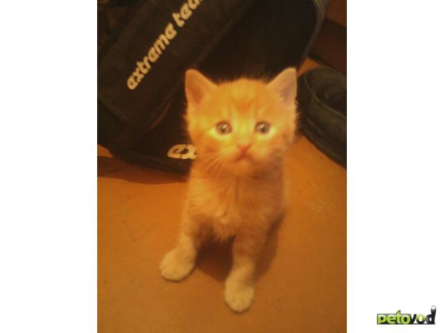 Кошка.  Беспородные и метисы . Отдам в дар в Волгограде