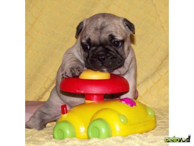 Собака. Французский бульдог . Продаю в Волгограде