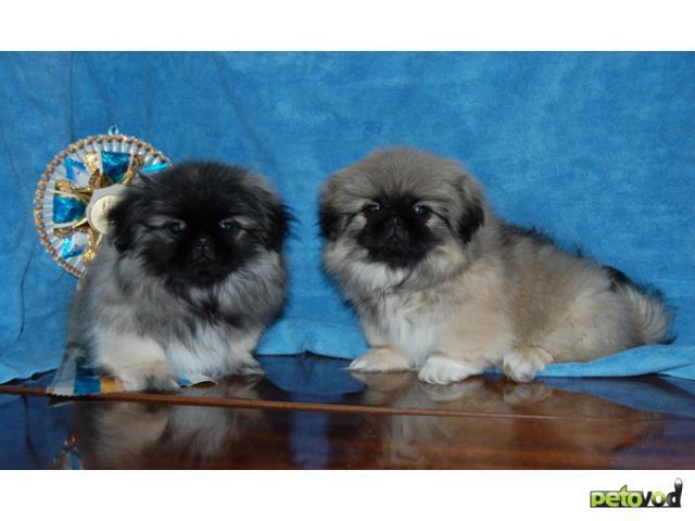 Предлагаем щенков пекинеса разных окрасов для выставок, разведения и просто для души.