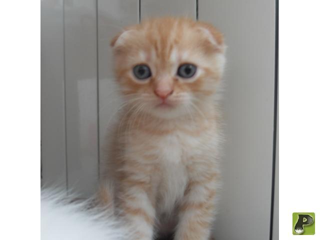 Кошка. Шотландская вислоухая (короткошерстная). Продаю в Ханты-Мансийске