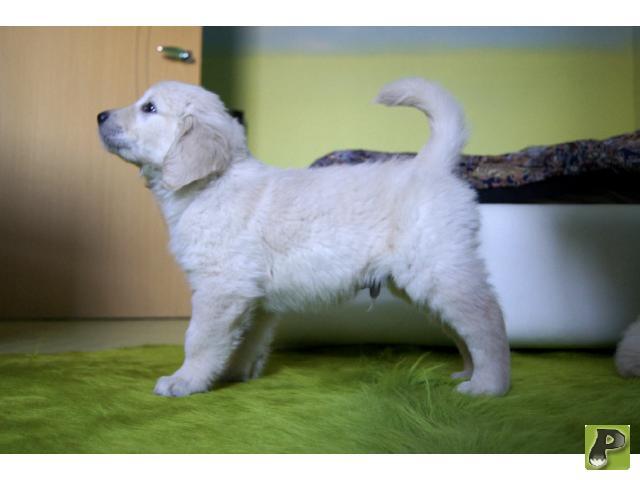 Собака. Золотистый (голден) ретривер. Продаю в Москве