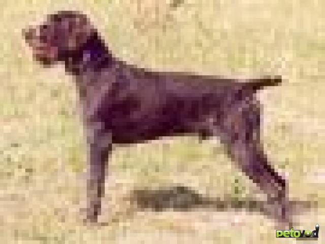 Охотничья собака похожа на черта на