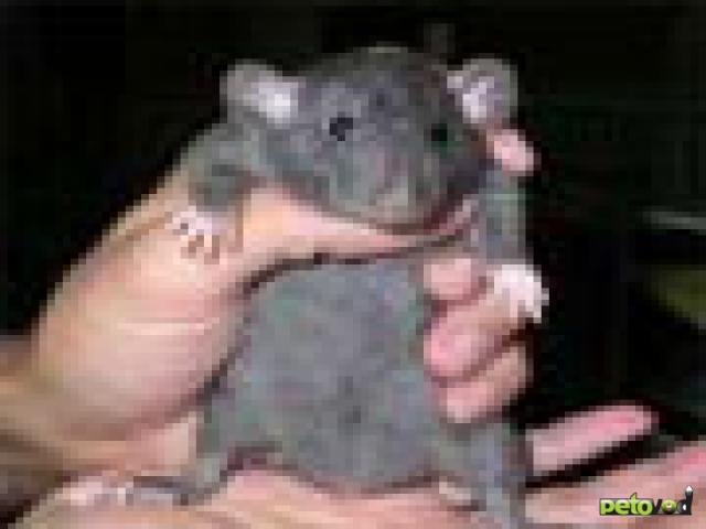 Болезни декоративной домашней крысы