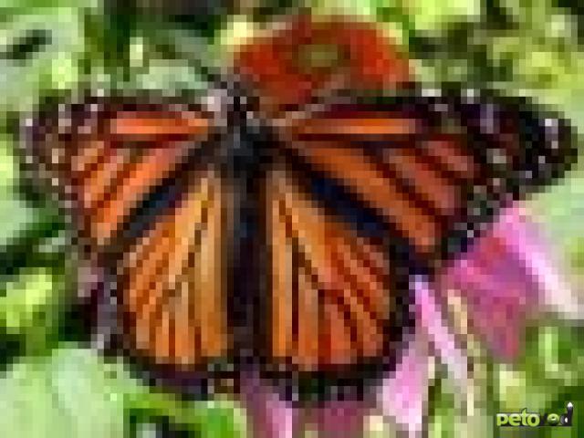 Данаида-Монарх в домашних условиях