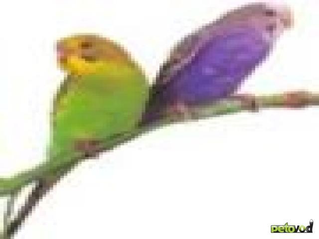 Симптомы болезней у волнистых попугайчиков