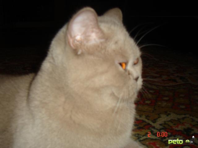 Кошка. Британская короткошерстная. Вязка в Тюмени