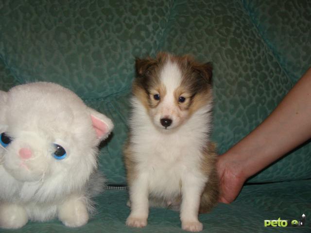 Собака. Шетлендская овчарка (шелти). Продаю в Москве