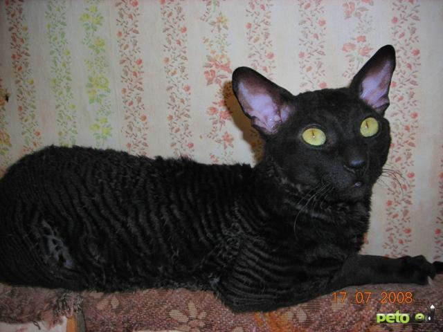 фото каракулевая кошка