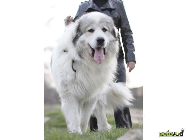 Собака пиренейская горная собака