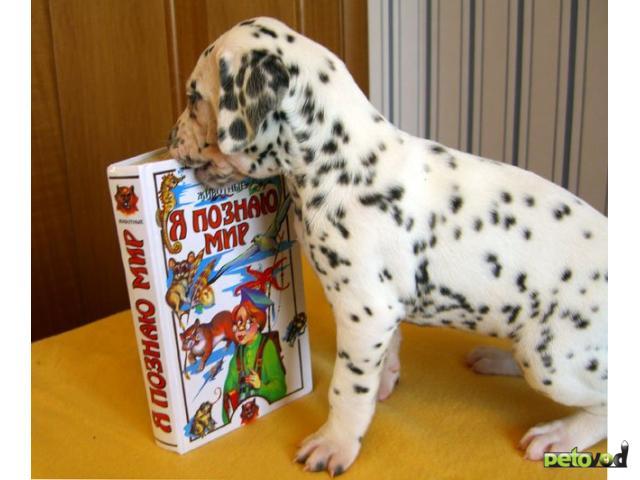 Собака. Далматин. Продаю в Москве