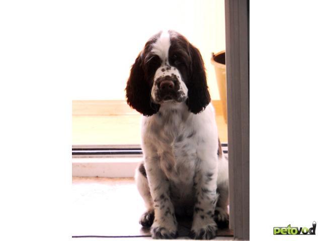 Собака. Английский спрингер спаниель. Продаю в Омске