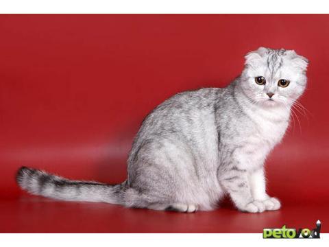 Описание кота порода шотландская вислоухая