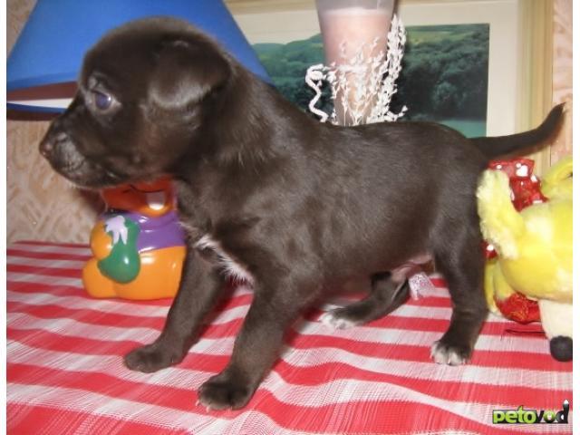 Собака. Мексиканская голая собака. Продаю в Комсомольске-на-Амуре