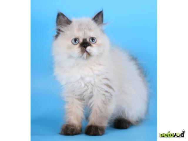 Шотландская вислоухая О породе кошек описание породы