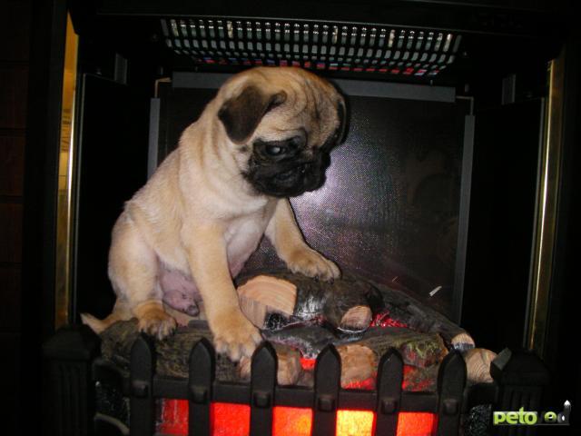 Собака. Мопс. Продаю в Владивостоке