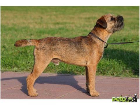 Бордер-терьер: все о собаке, фото, описание породы, характер, цена