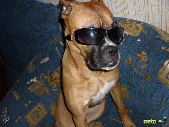 Собака. Немецкий боксер. Продаю в Новосибирске