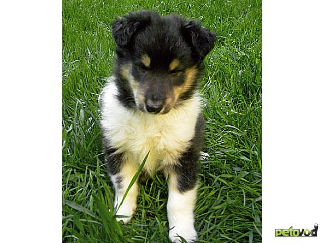 Собака. Колли длинношерстная. Продаю в Москве
