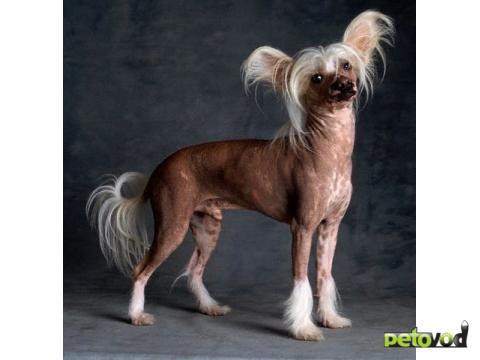 собаки китайская хохлатая фото