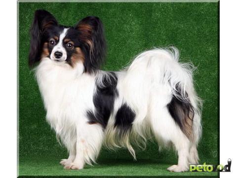фото порода собак папильон