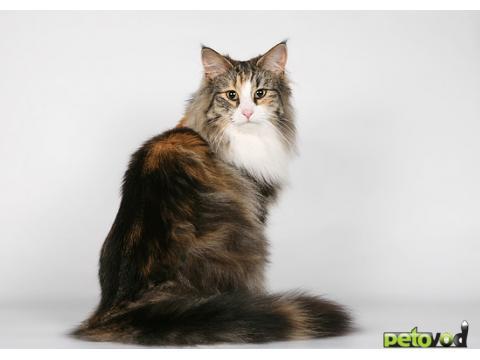 котов фото порода норвежская