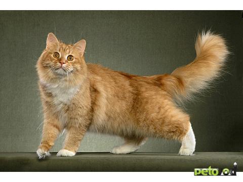Сибирская порода котов характеристика