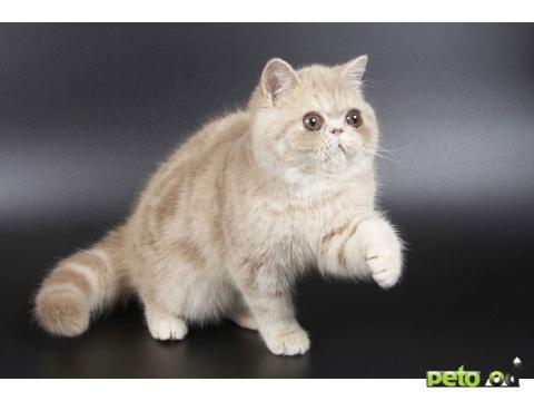 Которое проводило среди персидских котов. Селекционеры додер…