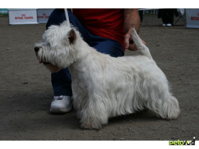 Собака. Вест хайленд вайт терьер. Продаю в Новосибирске
