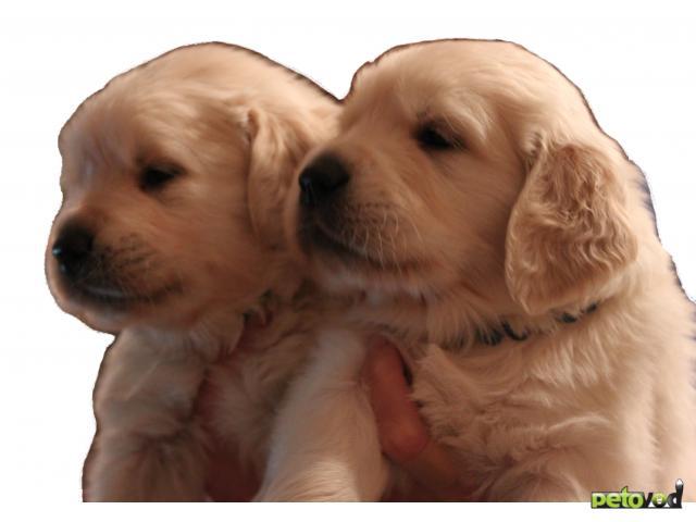 Собака. Золотистый (голден) ретривер. Продаю в Иркутске