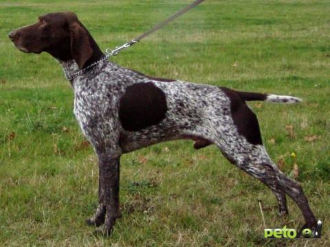 дратхаар охотничья собака фото