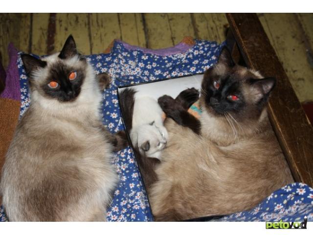 Кошка. Тайская. Продаю в Ижевске