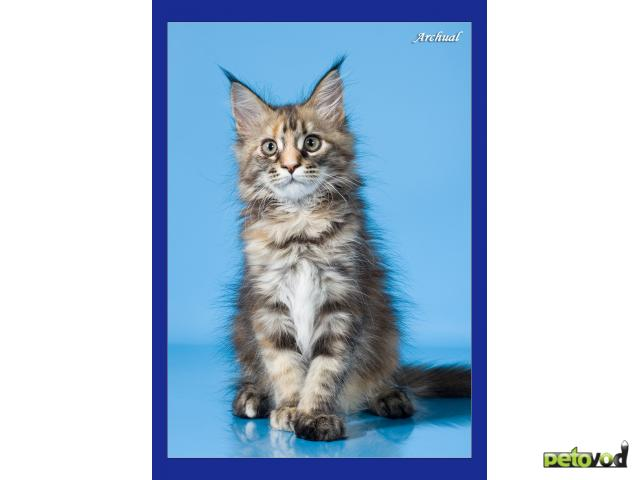 Кошка. Мэйн-кун . Продаю в Омске
