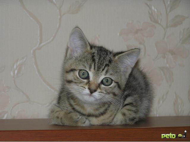 Кошка. Британская короткошерстная. Продаю в Тюмени