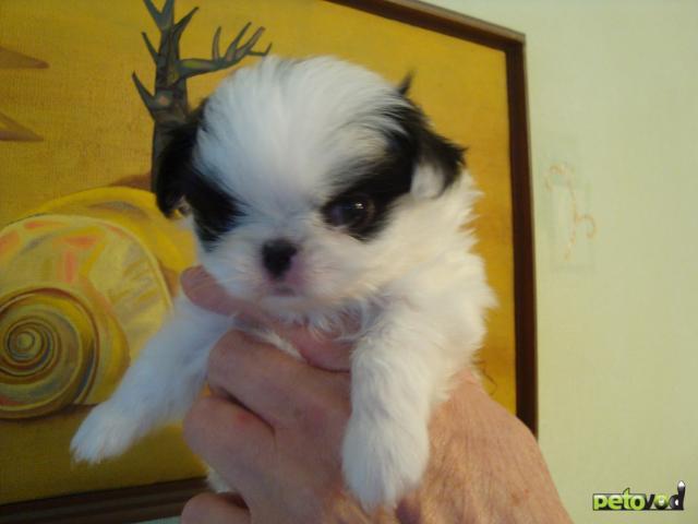 Собака. Японский хин . Продаю в Омске