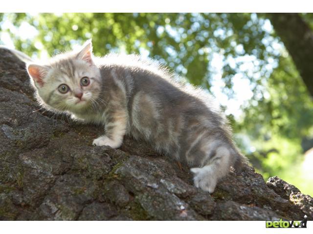Кошка. Скоттиш-страйт. Продаю в Калуге