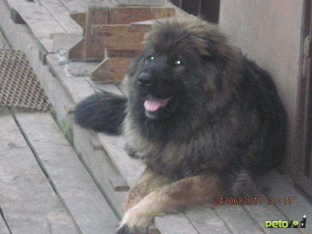Собака. Кавказская овчарка. Продаю в Москве