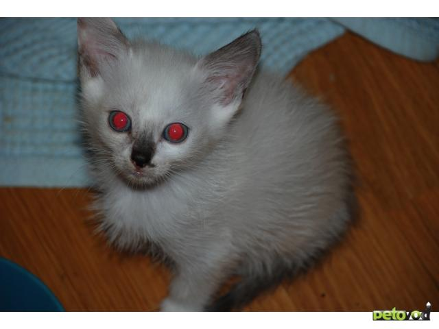 Кошка.  Беспородные и метисы . Отдам в дар в Калуге