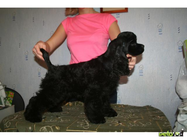Собака. Американский кокер спаниель. Продаю в Москве