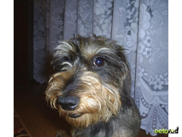 Собака. Такса карликовая. Продаю в Тюмени