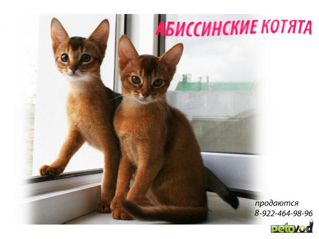 Кошка. Абиссинская. Продаю в Ханты-Мансийске