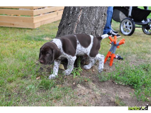 Собака. Немецкий курцхаар. Продаю в Москве