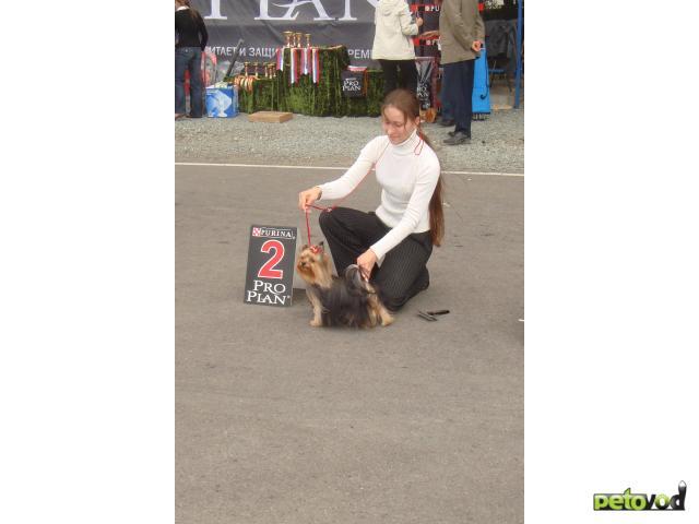 Собака. Йоркширский терьер . Продаю в Омске