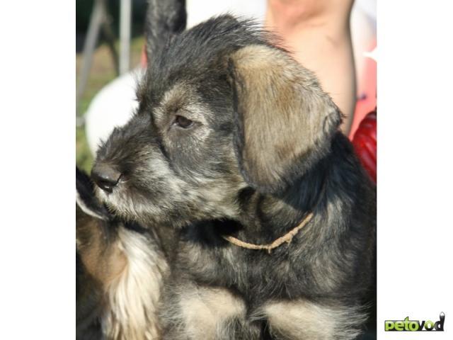 Собака. Ризеншнауцер. Продаю в Новосибирске