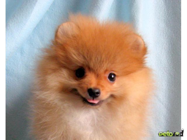 Собака. Немецкий шпиц малый. Продаю в Москве
