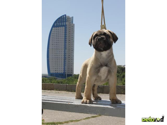 Собака. Бульмастиф. Продаю в Волгограде