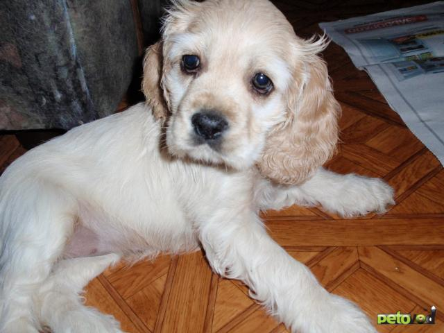 Собака. Американский кокер спаниель. Продаю в Новосибирске