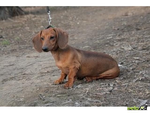 Собака. Такса стандартная. Продаю в Москве