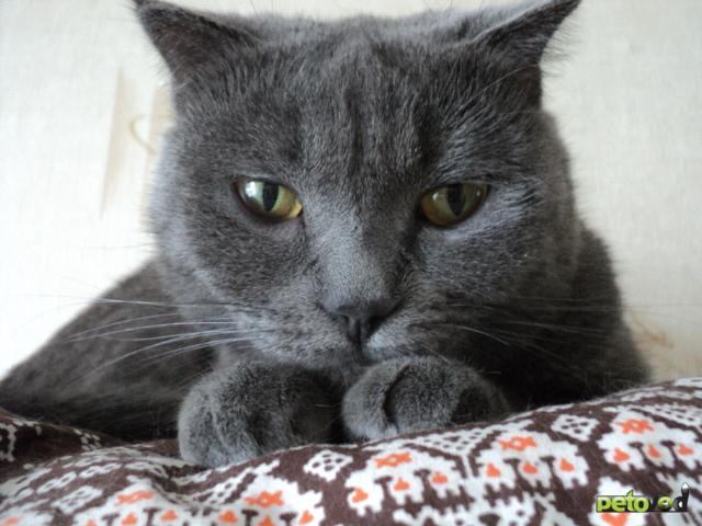 Кошка. Шотландская вислоухая (короткошерстная). Вязка в Ижевске