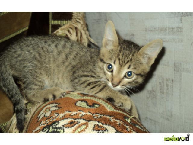 Кошка.  Беспородные и метисы . Отдам в дар в Омске