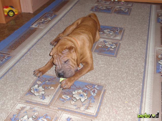 Собака. Шар пей. Продаю в Новосибирске